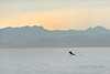 Humpback whale breaching at sunrise, off Loreto, Sea of Cortez, Baja, Mexico (best larger)<br /> <br /> The ONLY shot I got of a whale breaching.....since they weren't doing any breaching, just too busy feeding  It happened quickly and was a long way off, so I was lucky to get a shot at all.