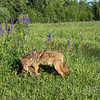 Coyote watching over pup, near Sandstone, MN (best larger)