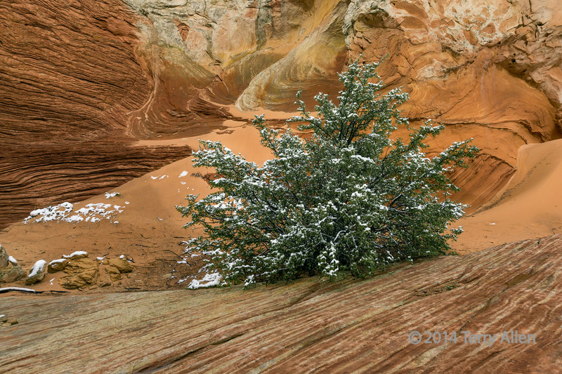 Tree with spring snow, White Pockets, Vermillion Cliffs National Monuments, Arizona