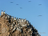 Blue-footed boobies lining a rocky outcrop, Isla Carmen, Sea of Cortez, Baja, Mexico