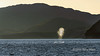 Blue whale surfacing for breath at sunrise off Isla Carmen, Sea of Cortez, Baja, Mexico (best larger)