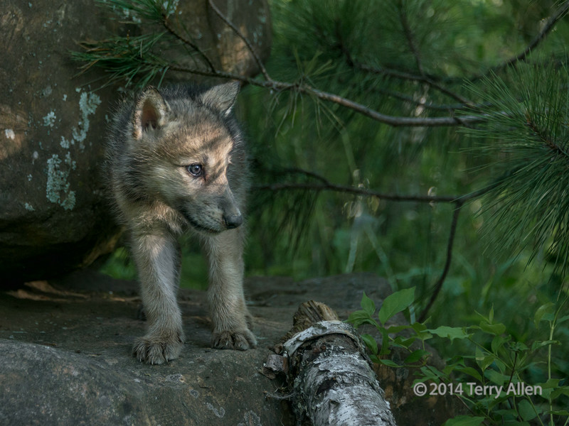 Wolf cub catching a ray of sun, near Sandstone, MN