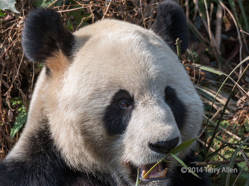 Giant panda close-up, Bifeng Xia, Sichuan, China