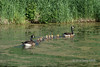 Pair of Canada geese escorting seven goslings around a duckweed pond, near Sandstone, MN