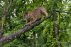 Bobcat on a tree branch in the rain, near Sandstone, MN