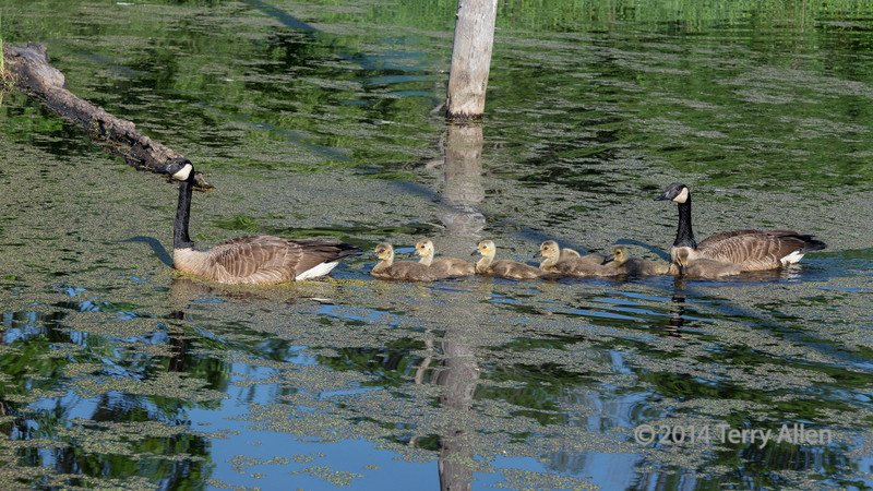 Pair of Canada geese in pond with seven goslings, near Sandstone, MN