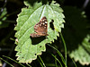 TC-140724-05-Speckled Wood-Penleigh