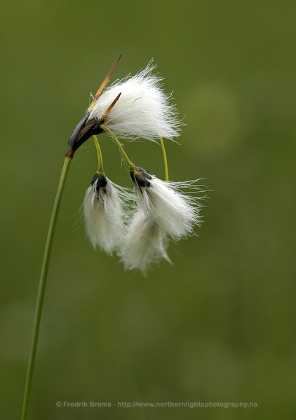 Common Cottongrass, Norway