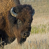 Bison in Theodore Roosevelt National Park, North Dakota