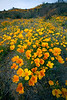 Spring Wildflowers, Mexican Gold Poppies (Eschscholtzia mexicana), bloom in the Sonoran Desert, Tucson, Arizona