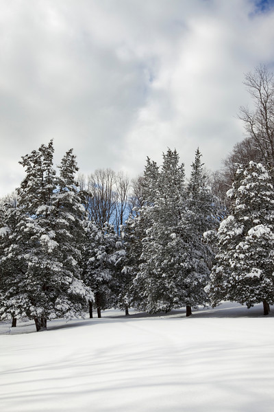 Snow covered pine trees, Jockey Hollow, Morristown National Historical Park, New Jersey