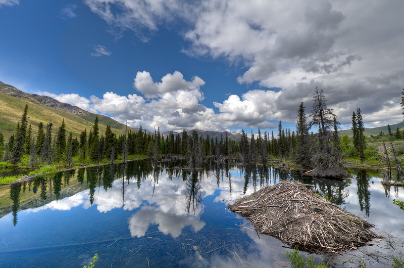 Reflection of pine trees in Blackstone River, Dempster Highway, Yukon, Canada