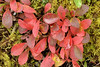 Alpine Bearberry (Arctostaphylos alpina)