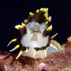 Polycera tricolor, Three-colored Dorid Merry's Reef, Palos Verdes, California