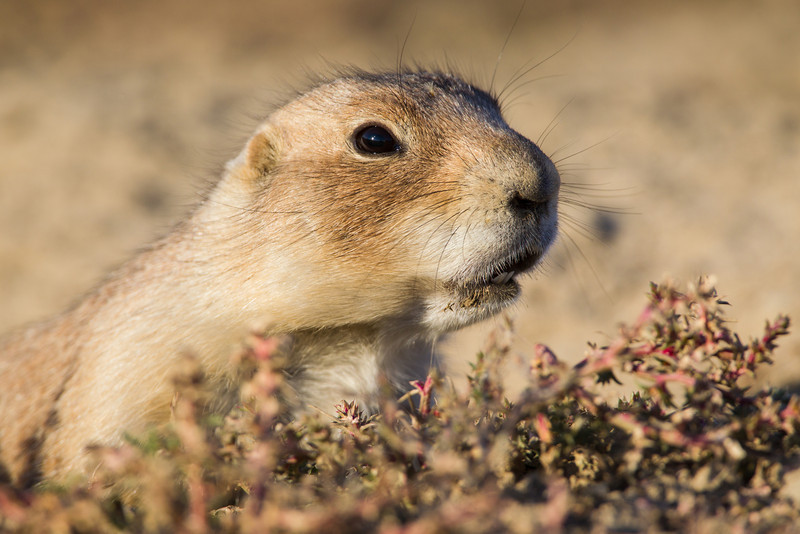 A blacktail prairie dog (Cynomys ludovicianus). Taken in Theodore Roosevelt National Park, North Dakota, USA.