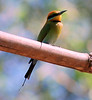 This is the beautiful Rainbow Bee-eater (Merops ornatus)photographed in Kakadu National Park in June 2008