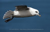 Northern Fulmar Close-up, Iceland