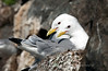 Black-legged Kittiwakes on Nest, Norway