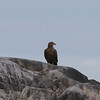 Zeearend / White-tailed Eagle