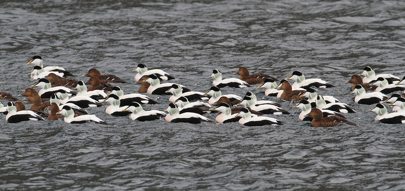 Eidereenden / Eiders
