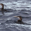 Geelsnavelduikers / White-billed Divers