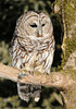 10659-Barred Owl-International Owl Festival-Houston, MN
