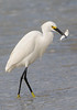 10633-Snowy Egret-with fish-Blind Pass-Sanibel Island, FL