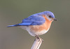 10632-Eastern Bluebird-male-Carrabelle, FL