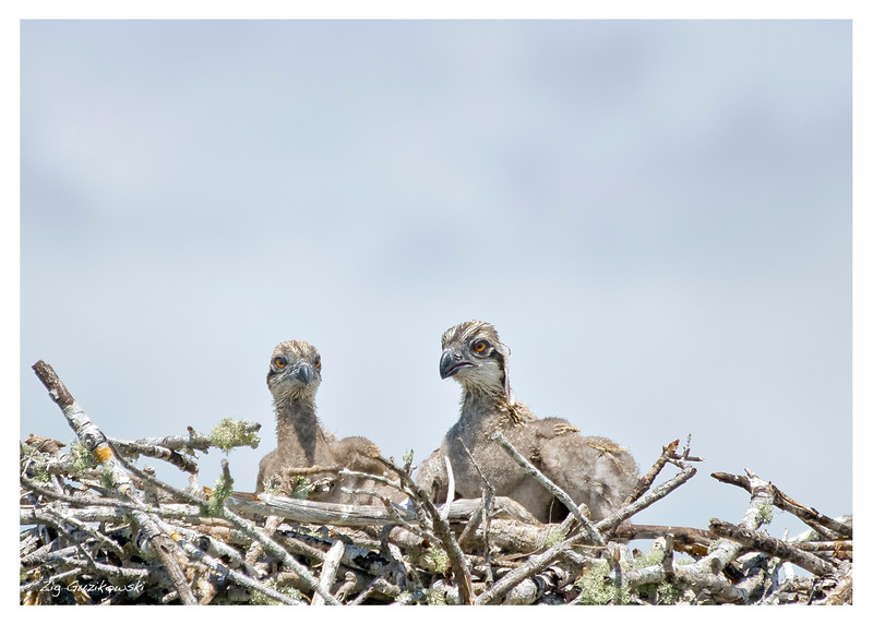 Everglades Osprey chicks