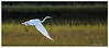 P139 GW Egret in Flight