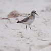 Western Sandpiper, Calidris mauri on Sanibel Island, Ding Darling Wildlife Refuge, south Florida, March, 2013