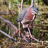 Green Heron adult, Butorides virescens, a wading, migratory bird of wetlands