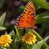 Gulf Fritillary, south Florida,dorsal view
