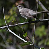 Northern Mockingbird is the Florida State bird. They are everywhere! This one was in the Everglades National Park, Florida