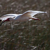 White Ibis in flight, a bird of the Everglades National Park, March 2013