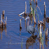 Little Blue Heron standing in water with rushes, Everglades National Park, Florida