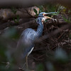 Tricolored Heron swallowing, perched
