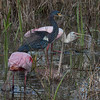 Roseate Spoonbill (Platalea ajaja) and Tricolored Heron feeding in Mangrove swamp, The Everglades National Park, Shark Valley, Florida, March, 2013