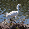 Snowy Egret profile, breeding plummage, a white migratory shore bird