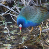 Purple Gallinule, Porphyrula martinica  wading, The Everglades National Park, March 2013