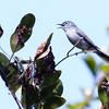 Blue Gray Gnatcatcher, Polioptila caerulea singing. This is a migratory songbird in Maine