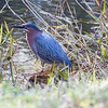 Green Heron, Butorides virescens, also called a Green-backed or Striated Heron wading bird, migratory in Maine. It's usually a secretive hunter, fishing along the margins of wetlands among dense vegetation at night.