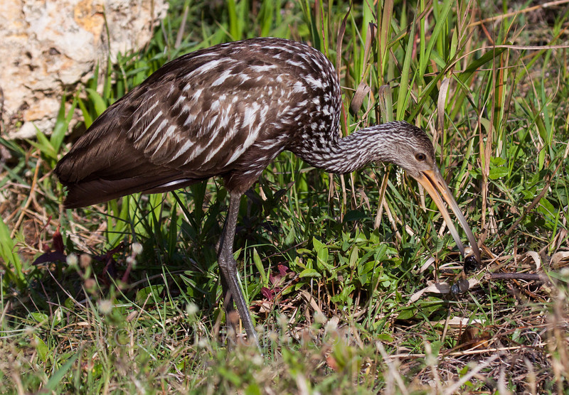A Limpkin is a wading bird. This one is picking a snail out of the grass for its dinner. Shark Valley Wildlife Preserve, Florida Everglades.
