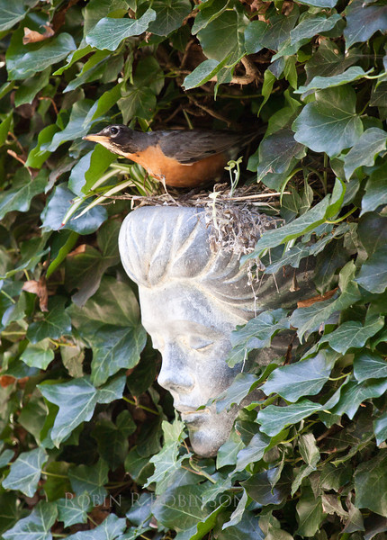 North American robin female peering from nest built in decorative wall planter nestled into English ivy,  PHippsburg, Maine Totman Cove