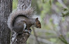 Gray squirrel profile, Maine wild animal, Phippsburg,