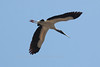 Wood Stork in flight, south Florida, The Everglades National Park. Wood Storks are endangered due to habitat loss. It was a life bird for me.