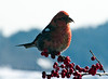 White Winged Crossbill, Male perched with winterberry, ilex verticilata, Phippsburg Maine