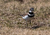 Killdeer are migratory shorebirds in Maine. This is the first of year for me in Phippsburg. I always look for them on a local golf course where they are predictable in the spring before the greens open to golfers. There were three birds on this day.