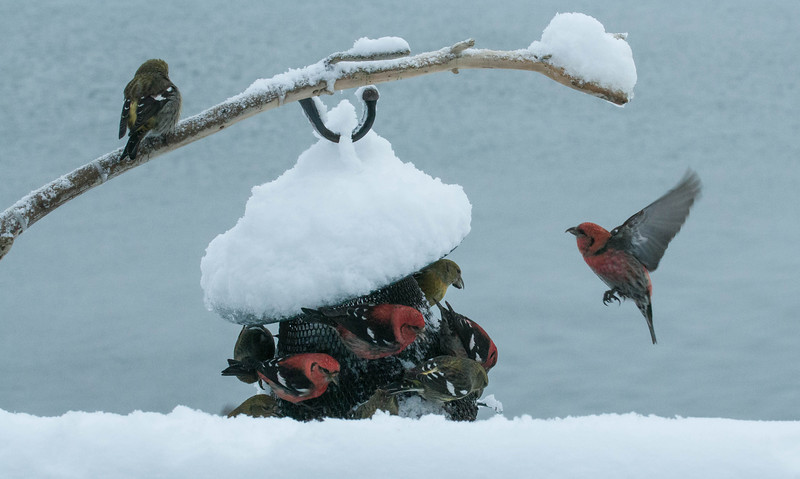 White Winged crossbills at feeder, Phippsburg Maine Febuary, winter scene
