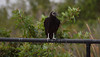 Black Vultures are not common in Maine, though we do get them occassionally. One was reported in Bath in Sagadahoc County a few years ago by a reputable birder.  This bird was photographed in South Florida.